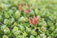 Grov spikblommakronblad är en grupp av röda och gröna sidor som dekoreras med hus och trädgårdar i Thailand royaltyfri bild