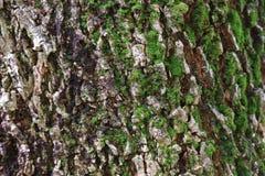 Grov textur av den stora tropiska trädstammen med grön mossa Arkivbilder