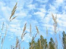 Grova spikar av änggräs rusar in i himlen Royaltyfria Foton