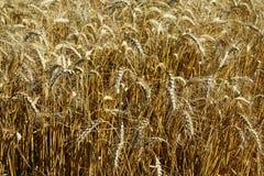 Grova spikar av att växa för kornskördar i fältet royaltyfri foto