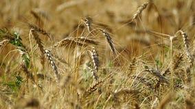 Grova spikar av att växa för kornskördar i fältet royaltyfria bilder