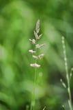 Grova spikar av grönt gräs Royaltyfria Foton
