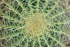 Grova spikar av kaktuns Royaltyfri Bild