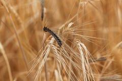 Grova spikar av korn med dold sotfläck, en ustilago hordei för svampsjukdom royaltyfri fotografi