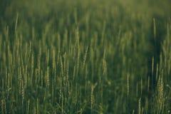Grova spikar i ett grönt fält arkivfoto