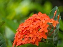 Grova spiken blommar rött på trädgård royaltyfri bild