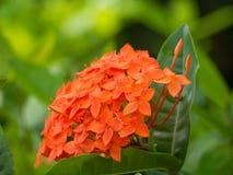 Grova spiken blommar rött på trädgård royaltyfri foto