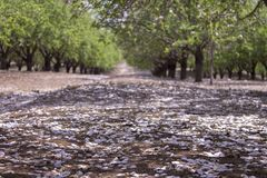 Grove of almond trees Stock Images