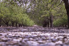 Grove of almond trees Stock Photo