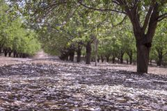 Grove of almond trees Royalty Free Stock Image