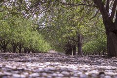 Grove of almond trees Royalty Free Stock Images