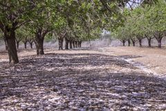 Grove of almond trees Royalty Free Stock Photos