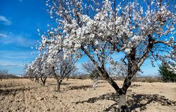 Blooming of almond trees. A grove of almond trees in Spain Royalty Free Stock Photography