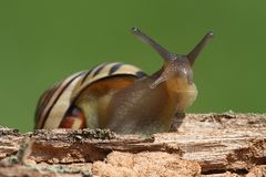 Grove or Brown-lipped Snail Cepaea nemoralis Royalty Free Stock Photography