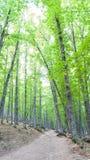 Grove-Anfangherbstkastanie mit grünen Blättern Stockfotos