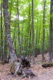 Grove-Anfangherbstkastanie mit grünen Blättern Lizenzfreie Stockfotos