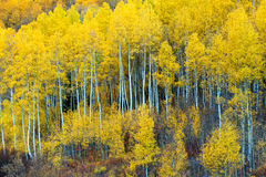 Grove of Aspen Trees in the Fall Season. Yellow leaves bursting with color from the Aspen grove along the mountainside in Colorado Royalty Free Stock Images
