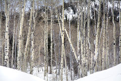Grove of Aspen trees in Wasatch Mountain peaks in northern utah in the wintertime Royalty Free Stock Photo