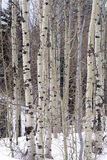 Grove of Aspen trees in Wasatch Mountain peaks in northern utah in the wintertime Royalty Free Stock Image