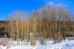 Grove of Aspens Royalty Free Stock Image