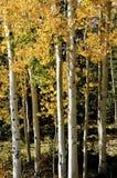 Grove of aspens Stock Image