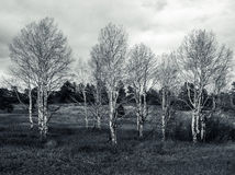 Grove of Aspens in the Foothills. These aspens were photographed in November in the Foothills of Colorado outside of Golden Royalty Free Stock Photos
