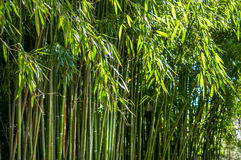 Grove of bamboo Royalty Free Stock Image