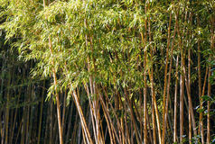 Bamboo tree Stock Photos