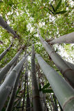 Grove of bamboo trees Stock Photo