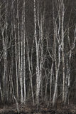 Grove of bare birch trees Royalty Free Stock Photos