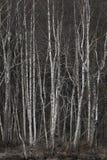 Grove of bare birch trees Royalty Free Stock Photos