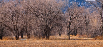 Grove of Bare Winter Trees on the Prairie Stock Photography