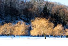A grove of bare yellow hued tree branches are contrasted by snow and a dark hill behind. A grove of trees with gold colored tree branches form important elements stock photography