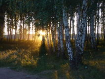 Grove birch in the evening. Green nature forest grove tree birch Royalty Free Stock Image