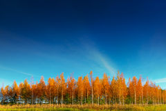 Grove of birch trees in autumn Stock Photos