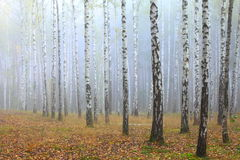 Grove of birch trees and dry grass in early autumn Stock Photo