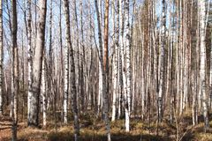 Grove of birch trees and dry grass in early autumn stock photography