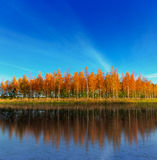 Grove of birch trees reflected in lake Stock Photos