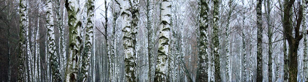Grove of birch trees in winter Stock Photo