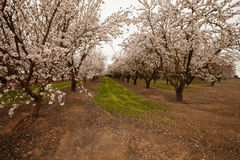 Grove of blooming almond trees on a commercial orchard. With pink and white blossoms Royalty Free Stock Photo