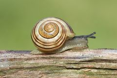 Grove or Brown-lipped Snail (Cepaea nemoralis) Stock Images