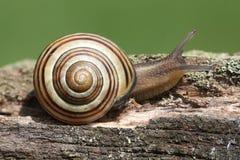 Grove or Brown-lipped Snail Cepaea nemoralis Royalty Free Stock Image