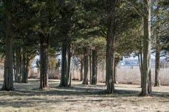 Grove of cedars Stock Photography