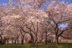 Grove of Cherry Trees in Washington DC. Several famous cherry trees in bloom in Washington, DC, the nation's capital, where  tourists come from around the world Stock Photo