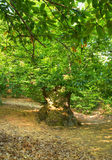 Grove of chestnut trees in Las Medulas royalty free stock photography