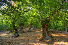 Grove of chestnut trees in Las Medulas stock photo
