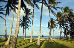 Grove of coconut trees by beach corn island Royalty Free Stock Images