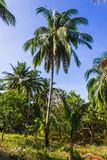 Grove of coconut trees on a sunny day Royalty Free Stock Photo