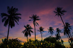 Grove of coconut trees on a sunny day Stock Photography