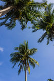 Grove of coconut trees on a sunny day Stock Images